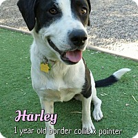 Adopt A Pet :: Harley-Quinn - Phoenix, AZ