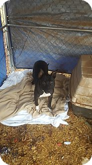 Pit Bull Terrier/Pit Bull Terrier Mix Dog for adoption in McMinnville, Tennessee - Sammy