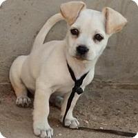 Adopt A Pet :: Snow - Mesa, AZ