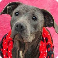 Adopt A Pet :: SHEBA - Louisville, KY