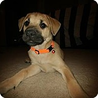 Adopt A Pet :: Brooke - Fairview Heights, IL