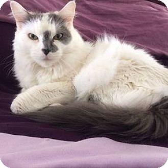 Domestic Mediumhair Cat for adoption in Cheltenham, Pennsylvania - Sedona