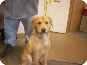 Golden Retriever/Retriever (Unknown Type) Mix Dog for adoption in Carrollton, Ohio - # 2 STRAY Avail. 12/3