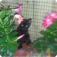 Adopt A Pet :: Bageera - Bonita Springs, FL