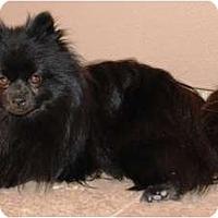 Adopt A Pet :: Noir - Gilbert, AZ