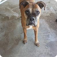 Adopt A Pet :: Arnie - Las Vegas, NV