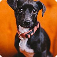 Adopt A Pet :: Krissy - Portland, OR