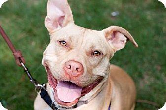 Staffordshire Bull Terrier Mix Dog for adoption in Atlanta, Georgia - Pink