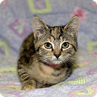 Adopt A Pet :: Asiago - Medina, OH