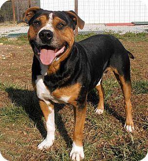 Rottweiler/Beagle Mix Dog for adoption in richmond, Virginia - BEST FRIEND BUTCH