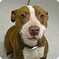 Adopt A Pet :: Ogie Oglethorpe - Troy, MI