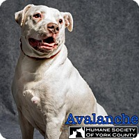Adopt A Pet :: Avalon - Fort Mill, SC