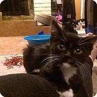 Adopt A Pet :: Inka - St. Louis, MO