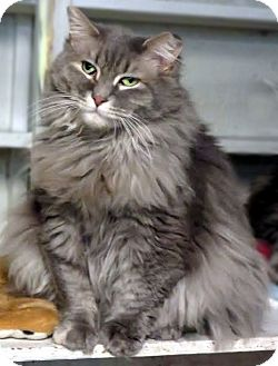 Domestic Longhair Cat for adoption in Colville, Washington - Sweet Pea