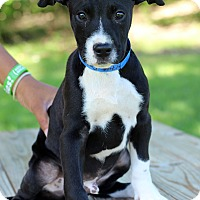 Adopt A Pet :: Oreo - Waldorf, MD