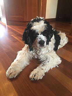 Cocker Spaniel Dog for adoption in Santa Barbara, California - Willie