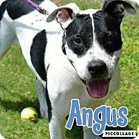 Adopt A Pet :: Angus - Scottsdale, AZ