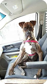 Boxer Dog for adoption in NYC, New York - ZEUS