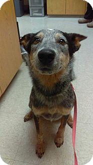 Australian Cattle Dog Mix Dog for adoption in Bonney Lake, Washington - Chancellor