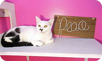 American Shorthair Cat for adoption in Glendale, Arizona - Lexie