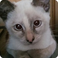Adopt A Pet :: Esmé (pure blue point Siamese) - Witter, AR