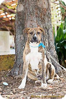 Boxer Mix Dog for adoption in Scarborough, Maine - Dixon