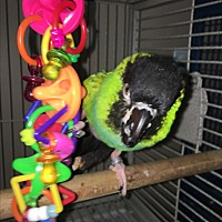 Conure for adoption in Punta Gorda, Florida - Mandoah