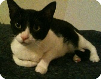 Domestic Shorthair Cat for adoption in Tracy, California - Camry