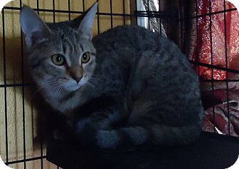 Domestic Shorthair Cat for adoption in Summerville, South Carolina - Lucy
