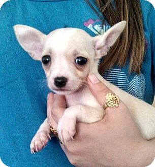 Terrier (Unknown Type, Small)/Chihuahua Mix Puppy for adoption in Seattle, Washington - 2 Boys left!!!
