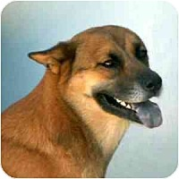 Chow Chow/Shepherd (Unknown Type) Mix Dog for adoption in Terre Haute, Indiana - Patsy