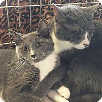 Adopt A Pet :: Stormy - N. Billerica, MA