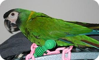 Macaw for adoption in Northbrook, Illinois - Charlie