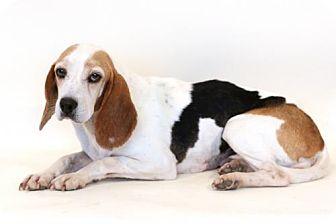 Beagle Mix Dog for adoption in Bloomington, Minnesota - Inca