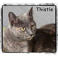 Adopt A Pet :: Thistle - Warren, PA