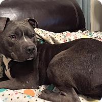 Adopt A Pet :: Angus - Villa Park, IL