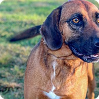 Hound (Unknown Type) Mix Dog for adoption in Gallatin, Tennessee - Waylon