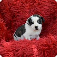 Adopt A Pet :: Sage - Groton, MA