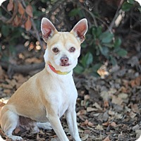 Jack Russell Terrier/Chihuahua Mix Dog for adoption in Goleta, California - Nugget