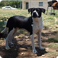 Adopt A Pet :: Shinzie - Fort Worth, TX