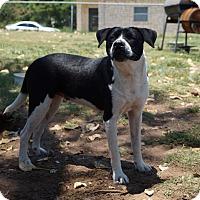 American Bulldog Mix Dog for adoption in Fort Worth, Texas - Shinzie