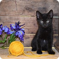 Domestic Shorthair Cat for adoption in Germantown, Maryland - Ariel