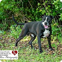 Adopt A Pet :: Kojack - North Myrtle Beach, SC