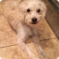 Adopt A Pet :: Molly2 - Scottsdale, AZ