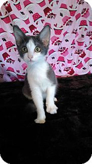 American Shorthair Kitten for adoption in Glenpool, Oklahoma - Weedle
