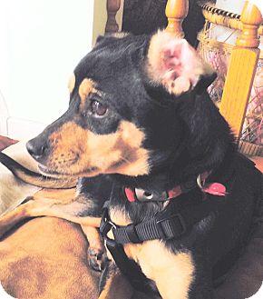 Miniature Pinscher Mix Dog for adoption in Surrey, British Columbia - Nash