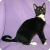 Domestic Shorthair Cat for adoption in Powell, Ohio - Dacey