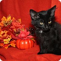 Domestic Mediumhair Kitten for adoption in Marietta, Ohio - Montana
