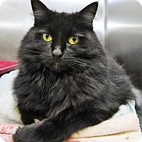 Maine Coon Cat for adoption in Stanhope, New Jersey - Shenita
