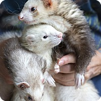 Ferret for adoption in Brandy Station, Virginia - BANDIT & ALIZ & MILO